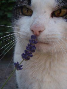 lavendel-jinn-fotograaf-nienke-flipsen-verrijking-kattenherplaatsing