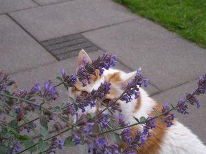 thomas-kattenkruid-nepeta-cataria-marieke-neus-tuin