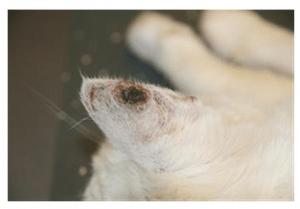 zonbescherming-kat-kattenherplaatsing-voorlichting-insmeren-oren2