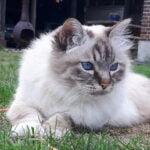 gusto-herplaatsing-heilige-birmaan-kattenherplaatsing