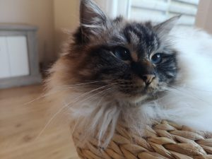 George-heilige-birmaan-herplaatsing-jonge-kater-kattenherplaatsing-raskat (1)