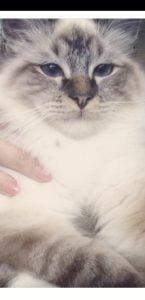 George-heilige-birmaan-herplaatsing-jonge-kater-kattenherplaatsing-raskat (2)