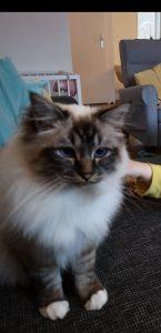 George-heilige-birmaan-herplaatsing-jonge-kater-kattenherplaatsing-raskat (5)