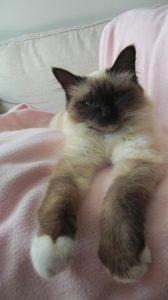Noa-heilige-birmaan-herplaatsing-jonge-kater-kattenherplaatsing-raskat (1)
