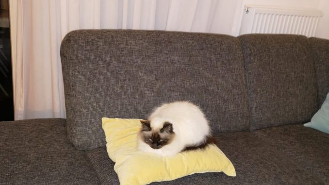 Noa-heilige-birmaan-herplaatsing-jonge-kater-kattenherplaatsing-raskat (2)