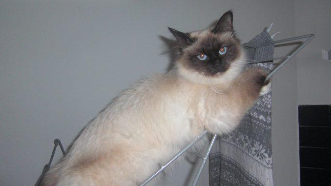 Noa-heilige-birmaan-herplaatsing-jonge-kater-kattenherplaatsing-raskat (3)