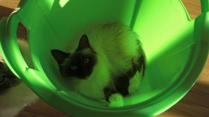Noa-heilige-birmaan-herplaatsing-jonge-kater-kattenherplaatsing-raskat (4)