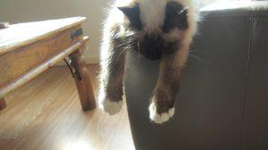 Noa-heilige-birmaan-herplaatsing-jonge-kater-kattenherplaatsing-raskat (6)