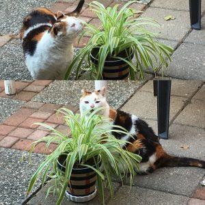 chlorophytum-kat-eetbare-plant-kattenvoorlichting-deskundig-advies