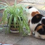 chloe-tuin-chlorophytum-kattenvoorlichting-kat-plant
