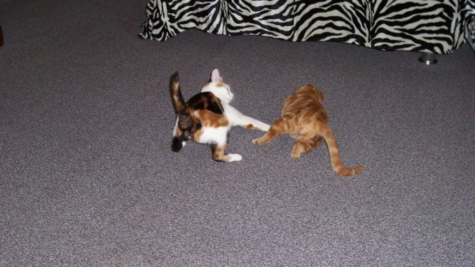 kattenherplaatsing-kattenvoorlichting-kat-kitten-kittens-spelen-vechten
