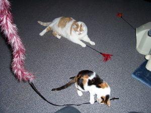 kattenherplaatsing-kattenvoorlichting-kat-kitten-volwassen-spelen