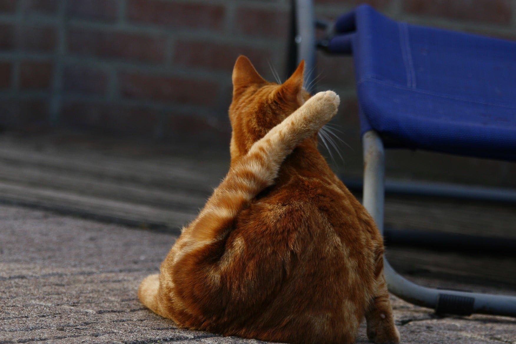 kattenherplaatsing-kattenvoorlichting-kat-kitten-wassen-billen-pootje
