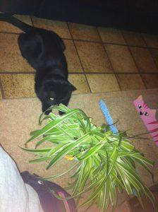 sneep-chlorophytum-eetbare-plant-kat