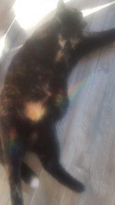 spot-poes-kattenherplaatsing-schildpadkat-nijmegen--schildpadlieverd