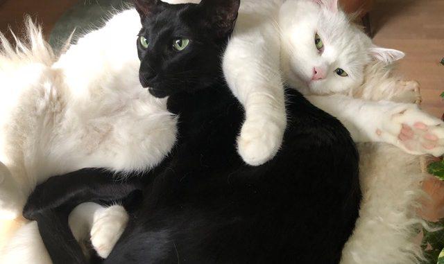 anil-lina-setje-oriental-oosterse-korthaar-ebony-witte-poes-kattenherplaatsing (3)