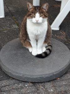 kitty-nijmegen-poes-thuis-gezocht-kattenherplaatsing2