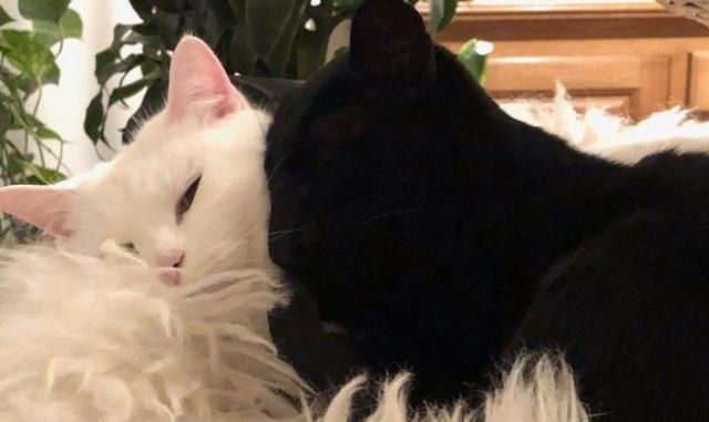 anil-lina-setje-oriental-oosterse-korthaar-ebony-witte-poes-kattenherplaatsing (2)