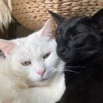 anil-lina-setje-oriental-oosterse-korthaar-ebony-witte-poes-kattenherplaatsing-foto