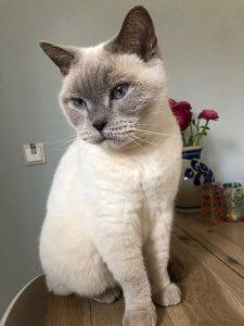 joep-herplaatsing-britse-korthaar-kattenherplaatsing-britse-kortharen-zoeken-een-nieuw-thuis