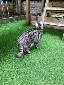 joep-lola-buiten-herplaatsing-britse-kortharen-kattenherplaatsing-britse-kortharen-zoeken-een-nieuw-thuis