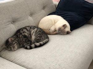 joep-lola-herplaatsing-britse-kortharen-kattenherplaatsing (1)