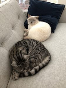 joep-lola-herplaatsing-britse-kortharen-kattenherplaatsing-britse-kortharen-zoeken-een-nieuw-thuis