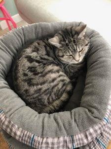 lola-herplaatsing-britse-korthaar-kattenherplaatsing-britse-kortharen-zoeken-een-nieuw-thuis