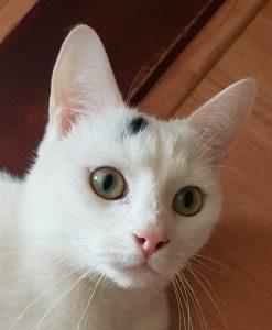 spike-herplaatsing-kat-mooie-ogen-kattenherplaatsing