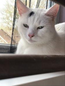 spike-herplaatsing-witte-kat-kattenherplaatsing (1)