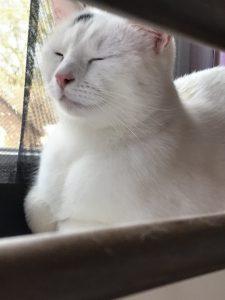 spike-herplaatsing-witte-kat-kattenherplaatsing (2)