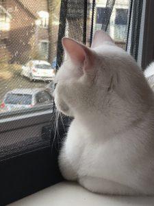 spike-herplaatsing-witte-kat-kattenherplaatsing (4)