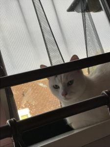 spike-herplaatsing-witte-kat-kattenherplaatsing (5)
