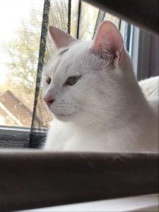spike-herplaatsing-witte-kat-kattenherplaatsing (8)