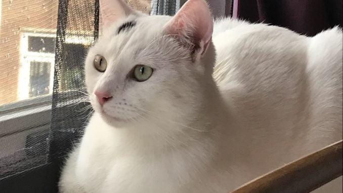 spike-herplaatsing-witte-kat-kattenherplaatsing-profielfoto
