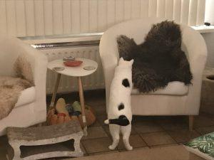 spike-witte-stoel-kattenherplaatsing