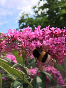 2017-08-13-hommeltje-vlinderstruik-veilige-plant-katten-kattenvoorlichting (3)