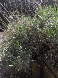 lavendel-veilige-plant-katten-kattenvoorlichting