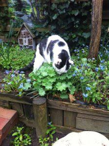 veilige-plant-katten-kattenvoorlichting-vrouwenmantel-kat-likt-druppels-regen