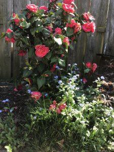 veilige-plant-tuin-katten-camelia-kattenvoorlichting