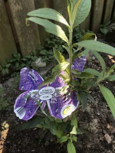 vlinderstruik-veilige-plant-katten-kattenvoorlichting