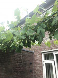 druivenstruik-giftig-hond-kat-plant-tuin-kattenvoorlichting (1)