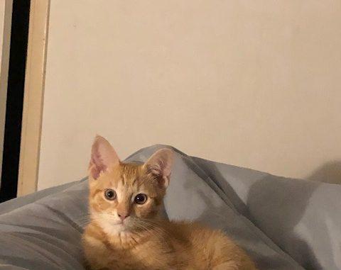 kitten-gino-amsterdam-kattenherplaatsing-kittenherplaatsing (1)