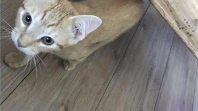 kitten-gino-amsterdam-kattenherplaatsing-kittenherplaatsing (3)