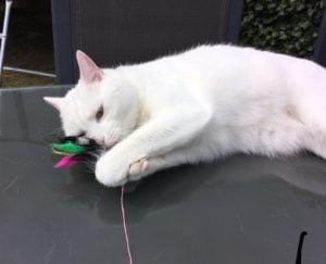 lexie-witte-kat-doof-kattenherplaatsing (3)