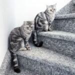 pablo-pasa-whiskas-katjes-brits-kortharen-kattenherplaatsing (2)