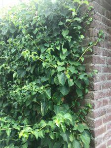 boerenhortensia-klimhortensia-kattenvoorlichting-giftige-tuinplanten (1)