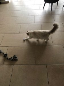 elsa-herplaatsing-ragdoll-kattenherplaatsing (2)