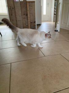 elsa-herplaatsing-ragdoll-kattenherplaatsing