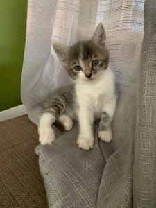 herplaatsing-beau-kitten-kattenherplaatsing-kat-adoptie (1)